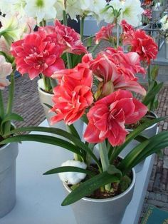 "DUTCH Amaryllis HIPPEASTRUM ""DOUBLE DREAM""  JUMBO Bulbs 36 Cm Dark Pink Blooms"
