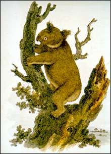 Koalo, or New Holland Sloth, engraving, G. Perry, Arcania, London, 10 May 1810.