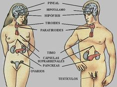 imagenes del sistema endocrino - Buscar con Google