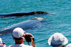 Hermanus Whale Watching is the best whale watching tour service provider in Hermanus and Gansbaai. Contact us on call - Tel:+27847466814