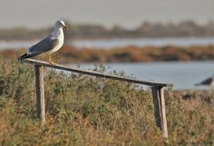 https://flic.kr/p/AXeei5 | Goéland leucophée (Larus michahellis), Yellow-legged Gull