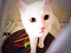 うさこ♀ 白猫特有の難聴有。大声で人を呼んで鳴く。