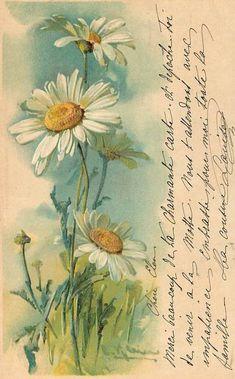 daisies old postcard// Catharina Klein