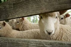 Why Wool Makes Great Carpet Simple Blog, Make It Simple, Simple House Design, The Good Shepherd, Wool Carpet, Peek A Boos, Biodegradable Products, Sheep, Things To Come