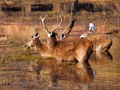 RANTHAMBORE NATIONAL PARK, RAJASTHAN- The home to the  mighty tigers and many more magnificent creatures
