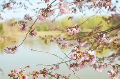 Cherry Blossoms #cherryblossoms