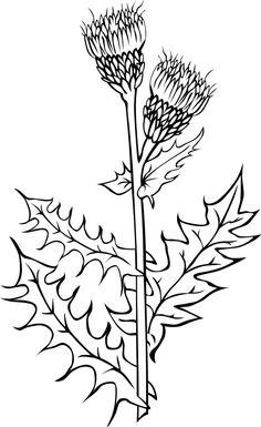Canada thistle  Cirsium arvense BW
