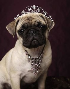 Pug in all her diamond finery....