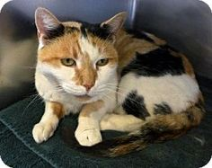 Westampton, NJ - Calico. Meet C-62608 Tabatha, a cat for adoption. http://www.adoptapet.com/pet/12181887-westampton-new-jersey-cat