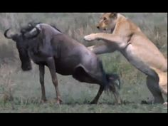 Cow Vs Lion - Lion Kills Cow | Must See!!!