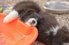 Border Collie Puppies For Sale In California Balmoral Border Collie In 2020 Collie Puppies Border Collie Puppies Collie