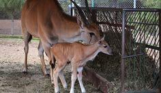 El director del Zoológico, Arturo Guzmán Ábrego, aseguró que con estos nacimientos, el Parque Juárez se confirma como una institución con vocación para la conservación y reproducción, no solo por ...