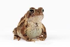 Proud Toad by JP Lawrence on 500px