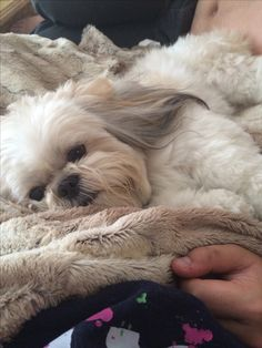 This looks like my Sachi I keep seeing him here over and over ...I want another Sachi dog its time  Shih tzu love/and sad:(