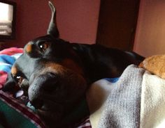 My daughter's sweet doberman cuddling.