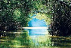 Amazing manglar