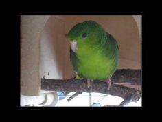 ▶ Henry, der sprechende Katharinasittich / Henry, the talking lineolated parakeet - YouTube