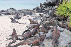 Meerechsen Española | Galapagos Reise   http://www.solecu.de