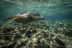 """A turtle in the blue lagoon - Dahab - Egypt Go to http://iBoatCity.com and use code PINTEREST for free shipping on your first order! (Lower 48 USA Only). Sign up for our email newsletter to get your free guide: """"Boat Buyer's Guide for Beginners."""""""