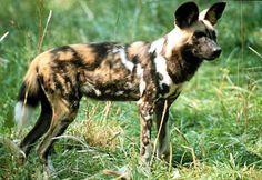 mabeco cachorro selvagem africano