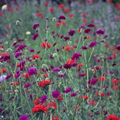 Knautia macedonica, Knautia arvensis, Lychnis coronaria, in the perennial meadow gardens at Trentham