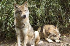 wolf #4k wallpaper (3800x2533)