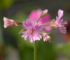 Floras Univers: Fire smukke pelargonier