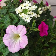 30 degrees last night and these are still going strong!!!  #petunia #verbena #calibrachoa #annuals #lovethem #provenwinners #beautiful #lovely #tough #mygarden #gardens #garden #gardening #gardenlovers #nature #resilient #naturelovers #nofilter #flowers #blooms #instablooms #instagardeners_feature #pink #pic #picoftheday