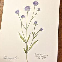 ©Hackney & Co Day 30 #sheepsbitscabious #watercolour #100daysofillustration, #hackneyandco100days #nature #art #botanical #floral #illustration #orkneywildflowers