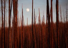 National Geographic's Photo of the Month | The light of the setting sun illuminates a forest burned by wildfire in Yellowstone National Park.