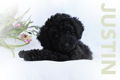 Mini Black Australian Labradoodle Puppy For Sale Labradoodle
