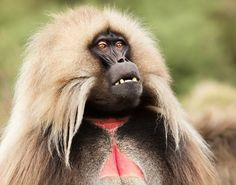 This is the gelada! Found only in Ethiopia's Afroalpine high-altitude grasslands that abut deep rocky gorges and steep cliffs, at night they climb the chilly cliffs to avoid predators while sleeping huddled together for warmth. A diet of nutrient-poor grasses requires 10 hours of grazing per day. Rapidly expanding agriculture puts them in competition with goats and cows for prime grazing land. Farmers force them onto lesser quality grassland; they risk being shot as pests. Read their story!