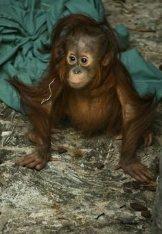 Baby orangutan. There's no moral difference between the animals, birds, fish, and insects we hunt, those we use for entertainment, those we kill for food and use as commodities, and those we love as members of our families. All animals, birds, fish and insects are sentient and have a right to live. Go vegan and stay vegan for them. It's the least we can do. Start here: www.befairbevegan.com Adopt, spay and neuter your companion animals!