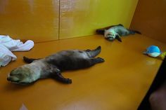 Otters are knackered, truly knackered - October 9, 2017