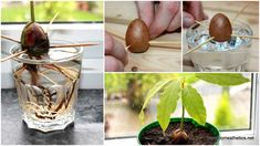 Grow Avocado from seed in just a few easy steps.You are going to love this easy tutorial that shows you all the tips and tricks. Watch the video too.
