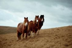 Wild Ponies In Welsh Countryside Photograph  - Wild Ponies In Welsh Countryside Fine Art Print