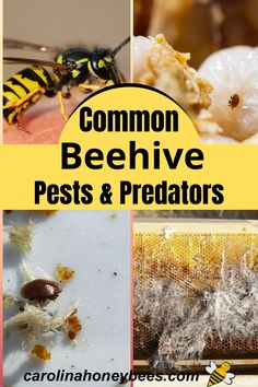 Identifying and control pests of the honey bee hive is an important goal of beekeepers. Protect your hives with these tips. #carolinahoneybees