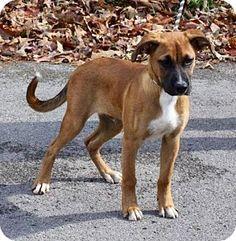 Cincinnati, OH - Boxer Mix. Meet Sammy, a puppy for adoption. http://www.adoptapet.com/pet/16914970-cincinnati-ohio-boxer-mix