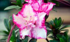 3 Claves para cultivar azaleas
