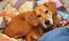 The Bogle Art Beagle, Beagle Puppy, Types Of Beagles, Beagle Facts, Pocket Beagle, Cute Beagles, Pet Dogs, Pets, Best Dog Breeds
