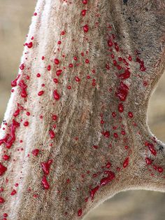 """Antler showing how the blood vessels rupture and start """"weeping"""" blood as the time for velvet shedding approaches."""