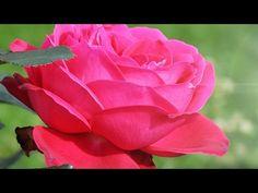 Розы и красивая музыка для тебя,  подружка!