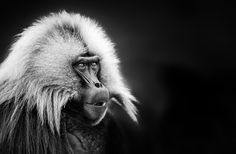 Gelada Darkness by Keith Connelly Photographics on 500px