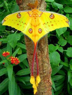 Comet Moth (Argema mittrei) or Madagascan moon moth is an African moth
