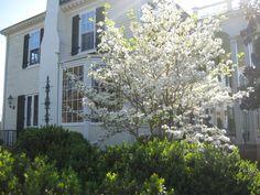 Dogwood blooms in Springtime... My favorite!