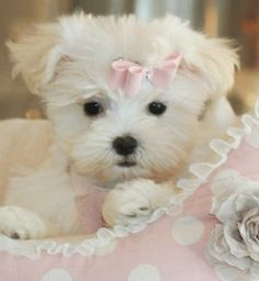 Teacup Maltese, Teacup Maltese dogs and I want  one of these too.... Super adorable