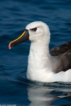 Yellow-nosed Albatross (Thalassarche chlororhynchos) by Octavio Campos Salles on 500px