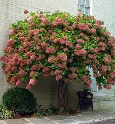 PeeGee (Panicle Grandiflora) hydrangea.  Only hydrangea which can be pruned into a tree form.