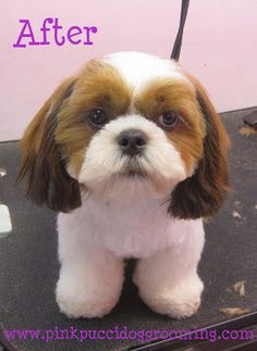Hamlet The Shih tzu Before & After Dog Grooming Example