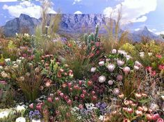 of South Africa Plants of South Africa. BelAfrique your personal travel planner - Plants of South Africa. BelAfrique your personal travel planner - South Afrika, Cape Town South Africa, East Africa, Desert Plants, Desert Cactus, Out Of Africa, Photos Voyages, Travel Planner, Belle Photo